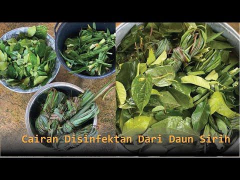 cara-buat-cairan-disinfektan-dari-daun-sirih