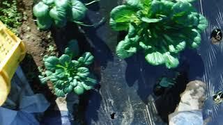 オーガニック野菜@畑のライブ実況お届けいたします~冬の葉物ターサイ初出荷 thumbnail