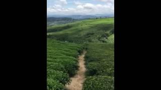Tea farm in Dalat Vietnam