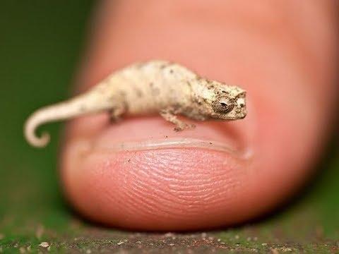 Самый маленький хамелеон Brookesia minima