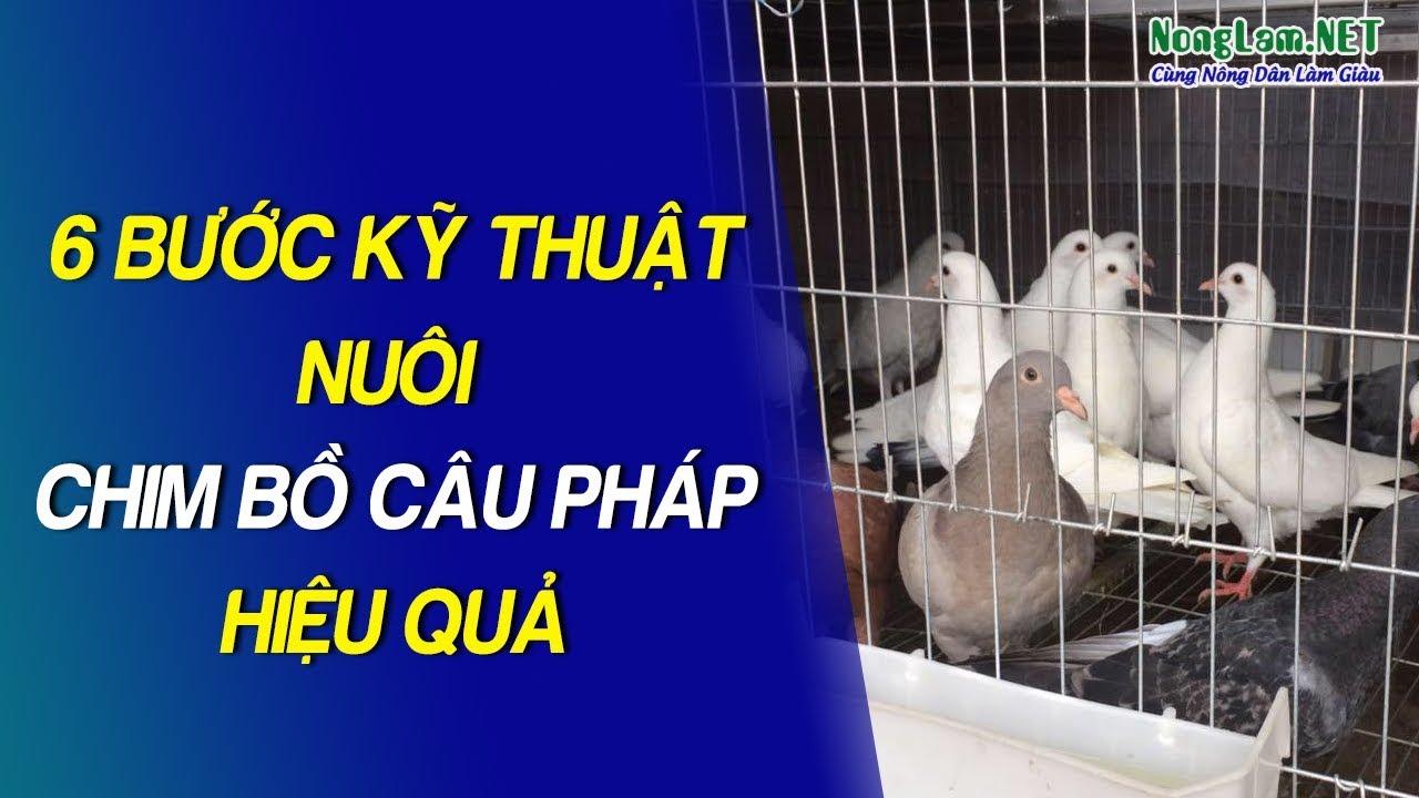 Quy trình Kỹ thuật nuôi Chim Bồ Câu Pháp sinh sản và thương phẩm