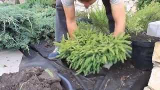 Экспресс - озеленение (как сажать растения летом)(http://www.florini.ru http://www.700design.ru ------------------- Питомник декоративных растений