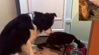 приколы лучшие приколы 2016 -Cat крадет обед собак и он не счастлив Смешные