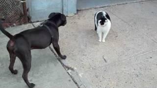 Killer Pitbull vs little pussy cat on NYC street.