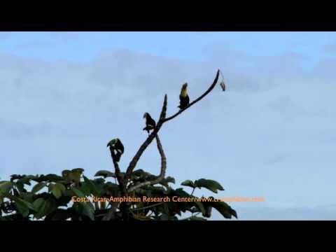 Keel-billed Toucan.m4v