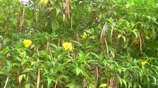 LA TECOMA AMARILLA: Tecoma stans (http://riomoros.blogspot.com/)