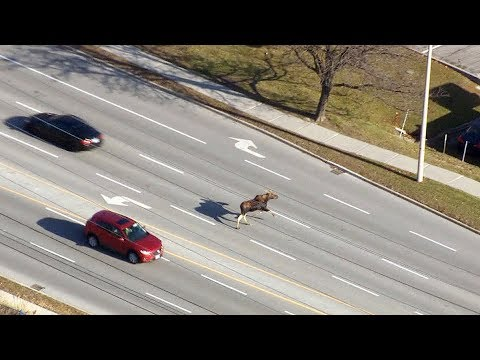 Caught on cam: Moose dashes through traffic in Markham, Ont.