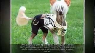 Маленькие породы собак КИТАЙСКАЯ ХОХЛАТАЯ