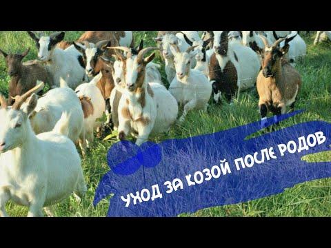 Как ухаживать за козой после родов