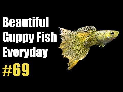guppy-channel---beautiful-guppy-fish-everyday-#69