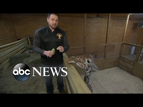 Thumbnail: 'April' the giraffe expected to give birth soon