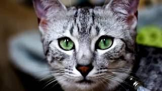 Порода кошек. Египетская мау.Одна из самых древних пород кошек зародилась в Египте