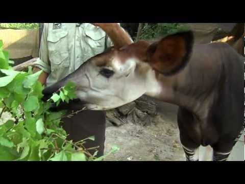 Zoo View Okapi - Cincinnati Zoo