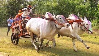 Racing bulls of Sanjay Chougule Muthugao