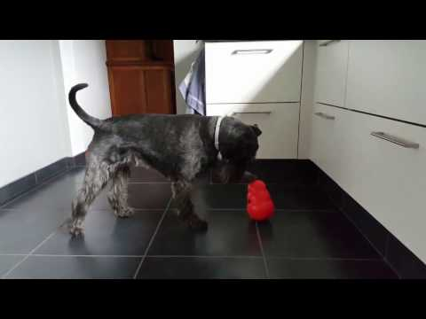 Standard Schnauzer, Jazz, playing with his Wobbler by Kong