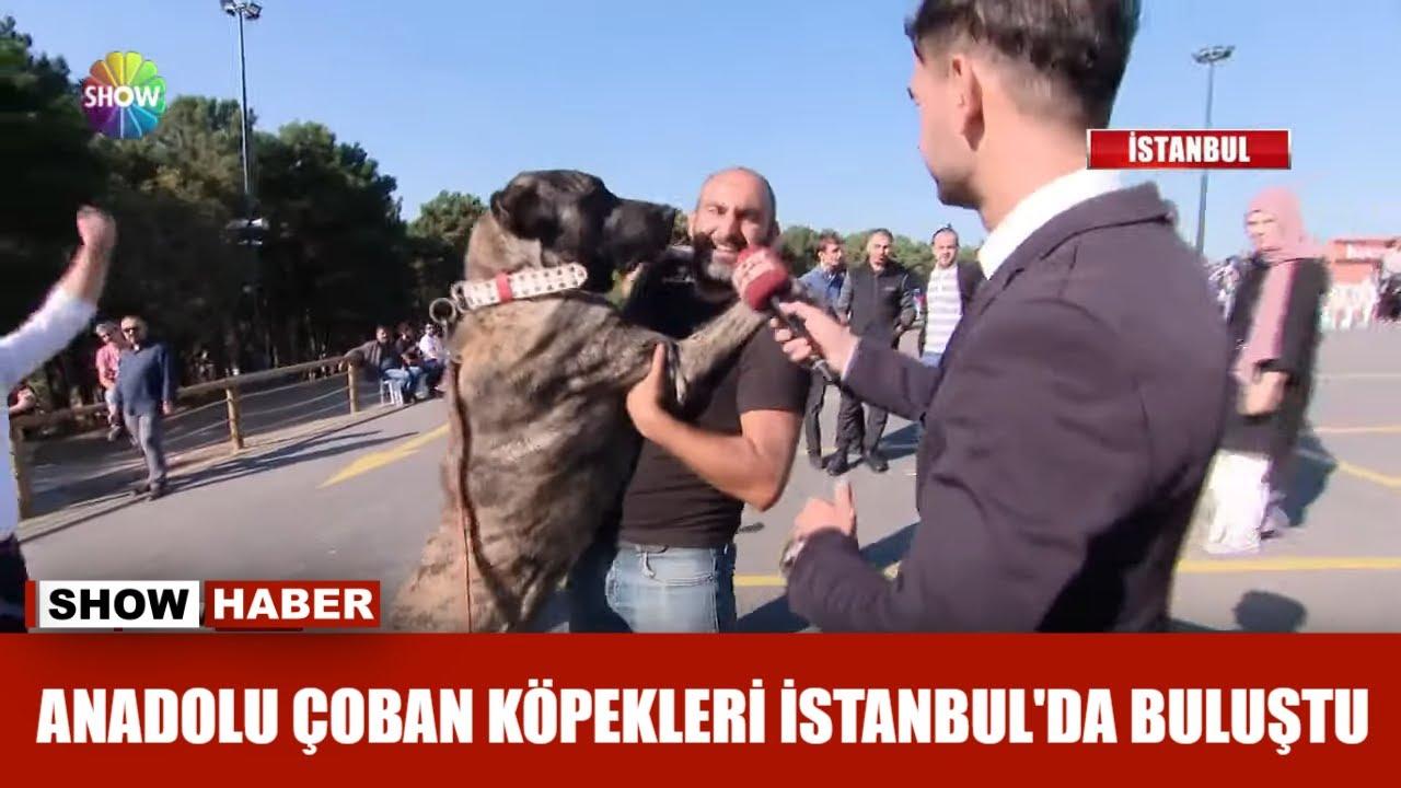 Anadolu çoban köpekleri İstanbul'da buluştu
