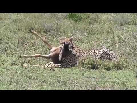 Serengeti - Gepard attakiert Baby-Gnu / Cheetah attacks Wildebeest-baby