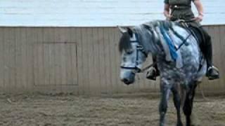 Bolero unter dem Reiter nach Physio. Schritt