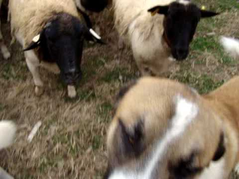 Anatolian Shepherds with Dorper sheep