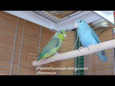 Воробьиные попугаи Лессона (Forpus coelestis)