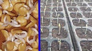 Cara menyemai benih cabe agar cepat tumbuh