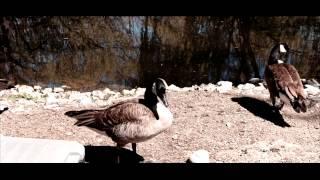 canatara geese