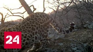 Рычание дальневосточного леопарда впервые удалось записать на камеру - Россия 24