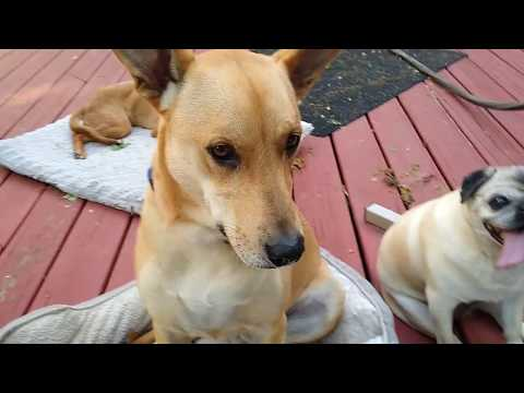 Different Behavior Patterns Among Dogs. Fried Chicken Day!! Carolina Dog, Sunny And Friends. :D