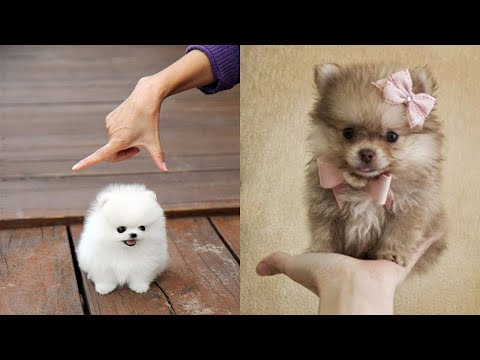 Cute Pomeranian Puppies  Cute Puppies Doing Funny Things 2020