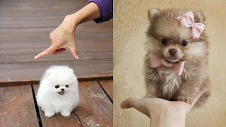 Cute Pomeranian Puppies ????Cute Puppies Doing Funny Things 2020