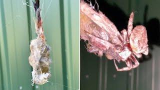 Eingewickelt im Netz: Riesige Spinne verspeist Vogel –die Prozedur dauert Stunden