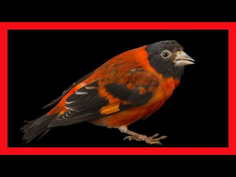 Red Siskin Song - Download CD - Excellent - Download CD Carduelis Cucullatus