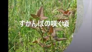 すかんぽの咲く頃