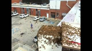 Bees Swarm a Hospital