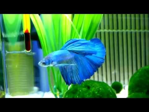 My Halfmoon Betta Fish ~ Hikki Chan (HD)
