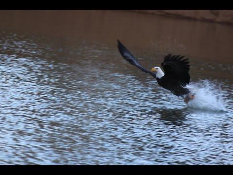 Bald Eagles of Shasta Lake, Shasta Lake City Ca.