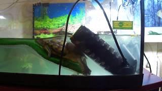 черепаха чешет спинку как котенок