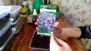 Гелиотроп из семян. Посев Гелиотропа