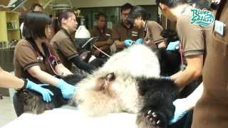 Giant Pandas Undergo Electroejaculation & Artificial Insemination