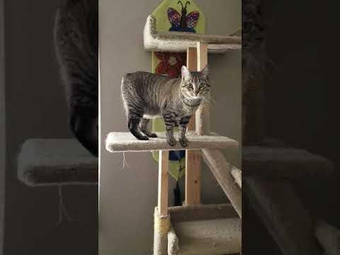 Pretty Manx Cat
