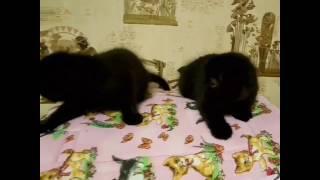 Шотландские котята продажа. Черный вислоухий котенок. Питомник Melody Soul