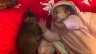 Абиссинский котенок - лучший друг маленького ребенка