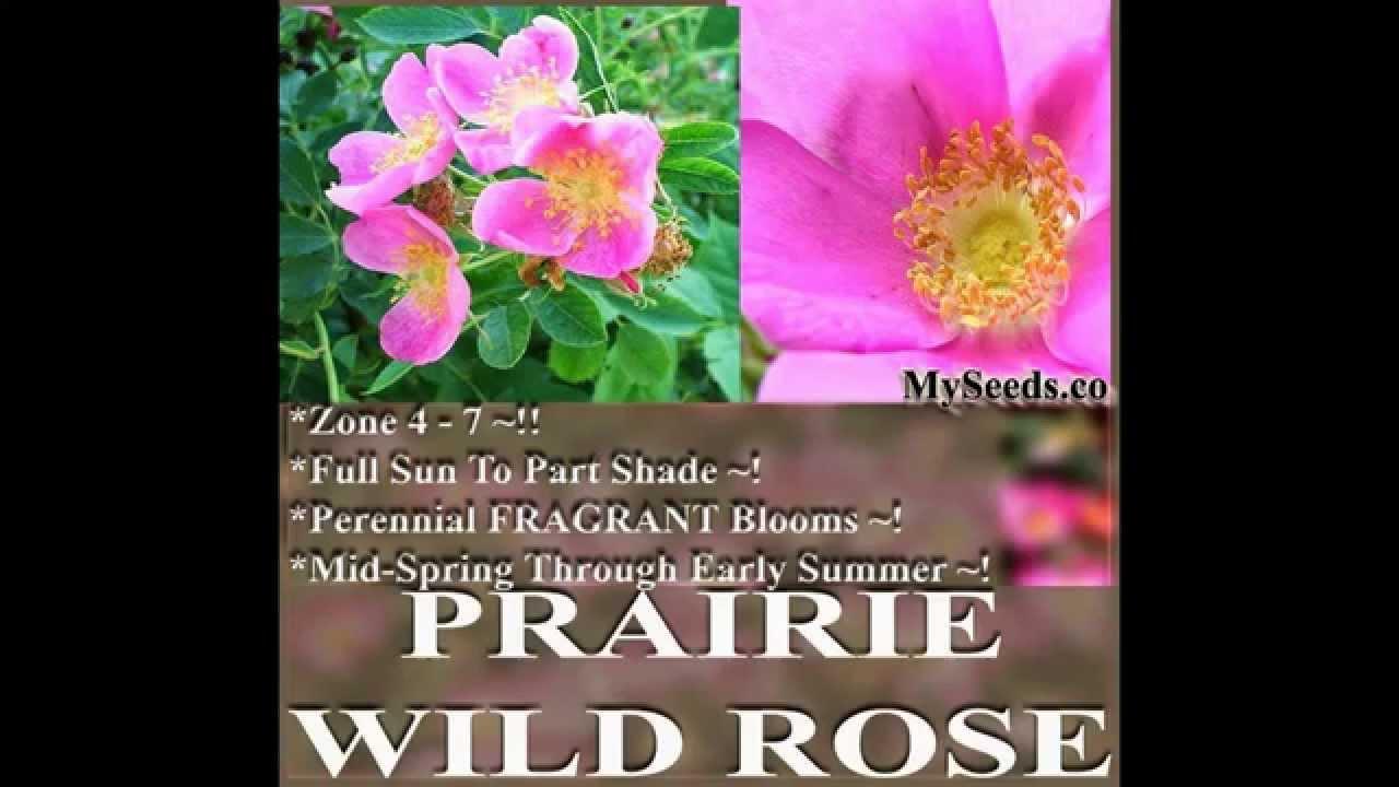 Prairie Wild Rose Seed Perennial Fragrant Rose Rosa Arkansana