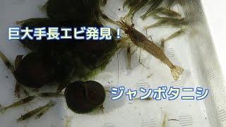 大きな淡水エビを発見しましたのでアップします。淡水エビは似たような...