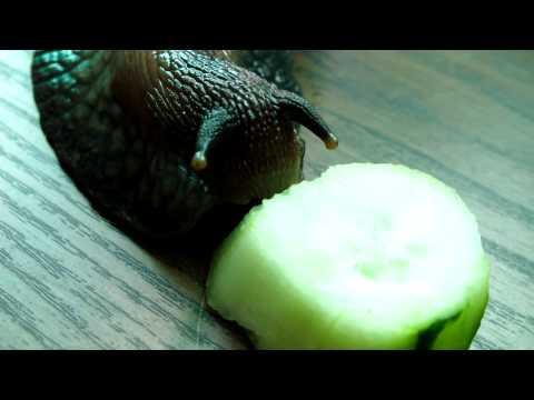 Dewastator - Ślimak Afrykański (Achatina fulica) zjada ogórka
