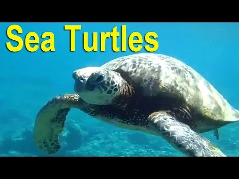 Most Endangered Species & Threatened Species: Sea Turtles on IUCN Critically Endangered Species List