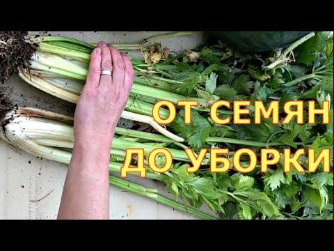 Как вырастить сельдерей черешковый