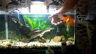 Золотые рыбки дрессура