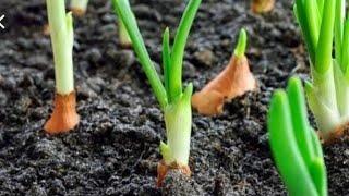 Aprenda Plantar Cebola de Cabeça – No Vaso