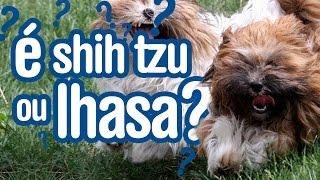 Lhasa Apso E Shih Tzu